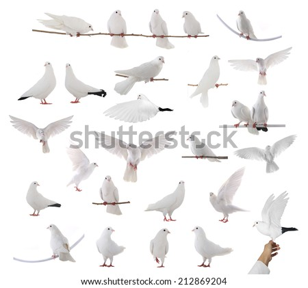 white dove isolated on a white background - stock photo