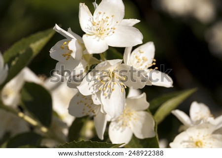 white flowers of a jasmine photographed by a close up - stock photo