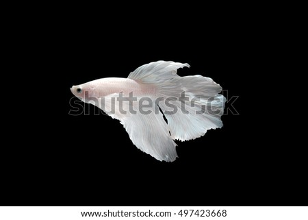 White Halfmoon siamese fighting fish isolated on black background