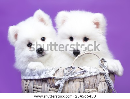 white  Japanese Spitz - stock photo