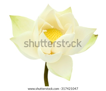 white Lotus flower isolated on white background