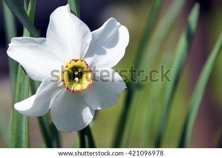 White Narcissus flower growing in the garden. Narcissus poeticus. Daffodil flower.Selective focus. - stock photo