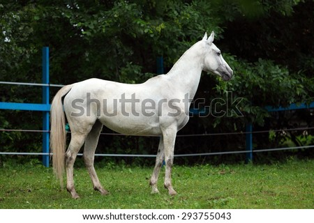 White polo pony in summer stud farm