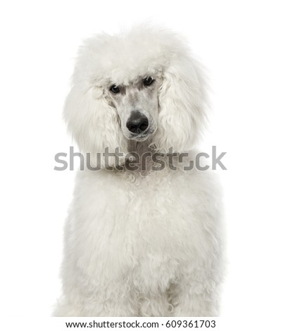 White poodle sitting, 9 months old , isolated on white