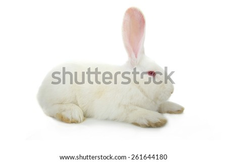 white rabbit on a white background - stock photo