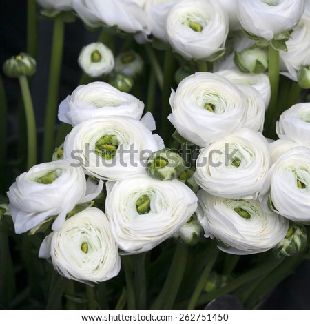 White ranunculus (persian buttercup) on the field - stock photo