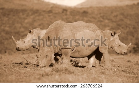 3 white rhinoceros in this abstract image. - stock photo