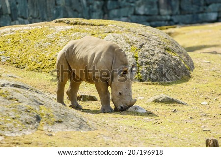 White rhinoceros or square-lipped rhinoceros, Ceratotherium simum. Here a calf is seen walking in enclosure. - stock photo