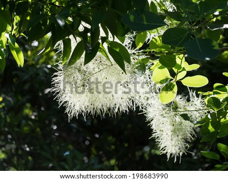 White Smoke tree in forest - stock photo