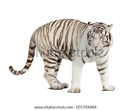 white tiger. Isolated  over white background with shade - stock photo