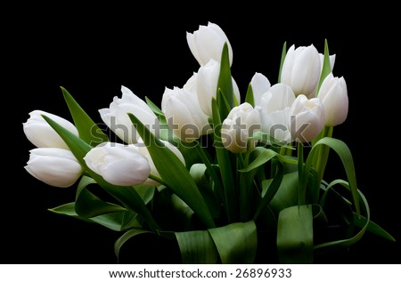 white tulips on a black background