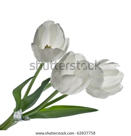 white tulips, on white background - stock photo