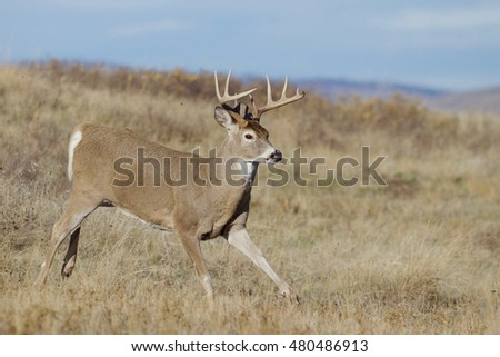 Whitetail Buck Deer, running with small clods of dirt being thrown up in the air from his hooves.  Odocoileus virginianus