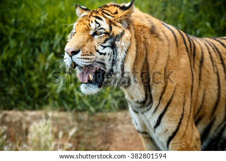 Wild bengal tiger in summer day, side profile view