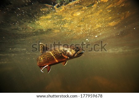 wild brook trout underwater in a spring fed stream.   - stock photo