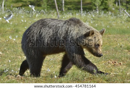 wild brown bear (Ursus arctos) in a summer. Swamp on the Forest meadow. Natural green background.