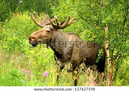 Wild Bull Moose in autumn, - stock photo