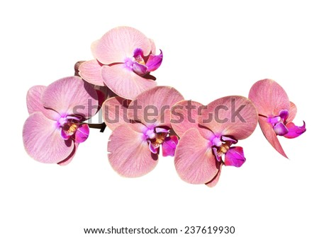 Wild orchids isolated on white background. - stock photo