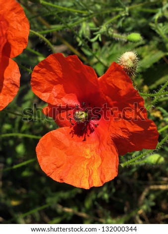 Wild Poppy in a field. - stock photo