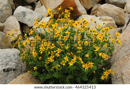 wildflowers in the    indian peaks wilderness area, colorado