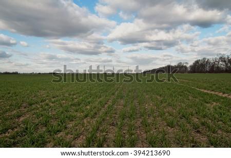 winter wheat on a field - stock photo