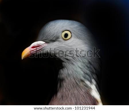 Wood Pigeon (Columba palumbus) - stock photo