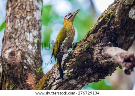Woodpecker feeding naturally, in the tropical forests. - stock photo