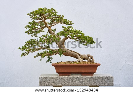 105 year old Chinese Elm in a bonzai garden - stock photo
