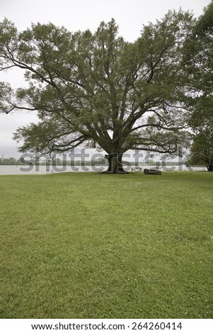 350 year old Willow-Oak of Shirley Plantation on the James River, Virginia's First Plantation founded in 1613, first to use slaves and operated for 12 generations by the Hill-Carter family. - stock photo