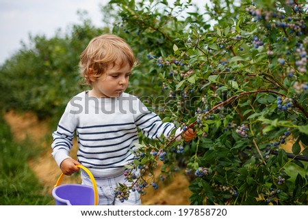 3 years old boy picking blueberries on organic berry field, outdoors. - stock photo
