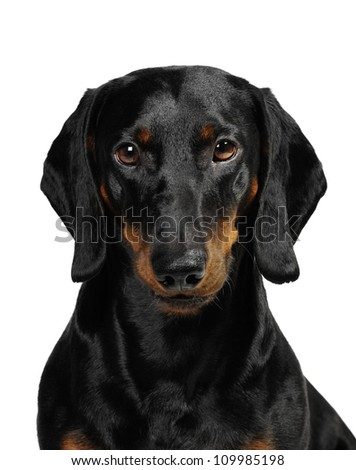 3 years old dachshund in studio in front of a white background - stock photo