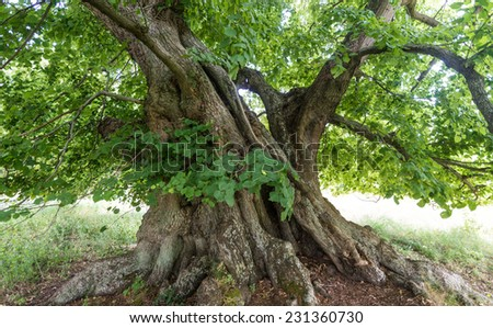 800 years old lime tree - stock photo