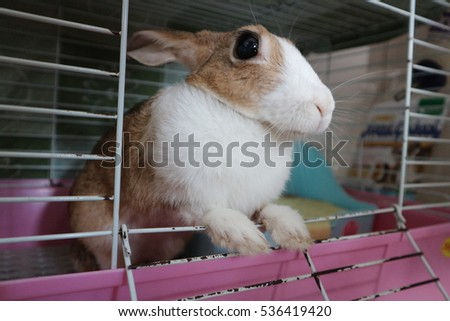 6 years old thai rabbit (brown and white colour) in the cage