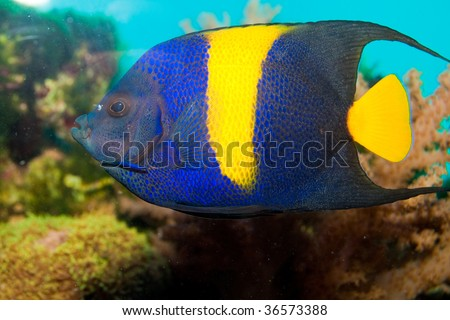 Yellow-Bar or Half Moon Angelfish (Pomacanthus maculosus) fish in Aquarium
