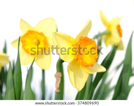 yellow daffodil with stem isolated on white background  - stock photo