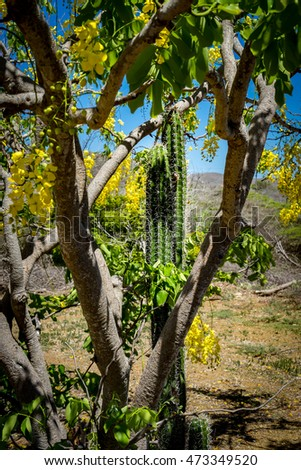 Yellow flowering trees and cactus  Views around Curacao a small Caribbean Island in the Netherland Antilles