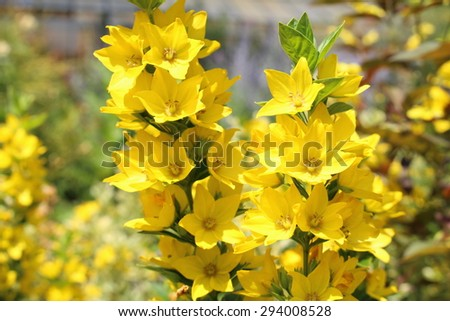 """Yellow Loosestrife"" flowers (or Loosestrife Alexander) in Innsbruck, Austria. Its scientific name is Lysimachia Punctata Alexander, native to central Europe. (See my other flowers)"