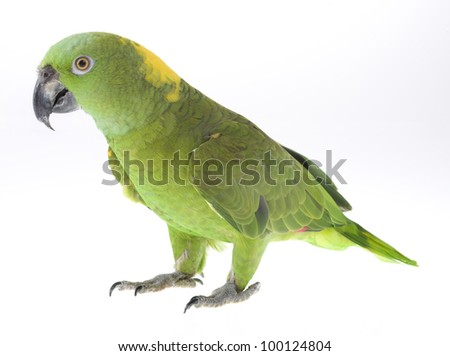 Yellow Naped Amazon Parrot isolated on a white background