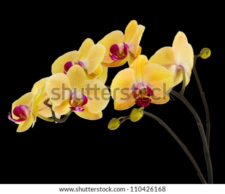 yellow orchid and bamboo on a black background - stock photo
