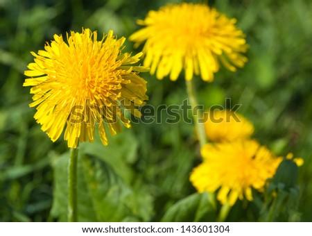 Yellow summer dandelions, closeup shot - stock photo