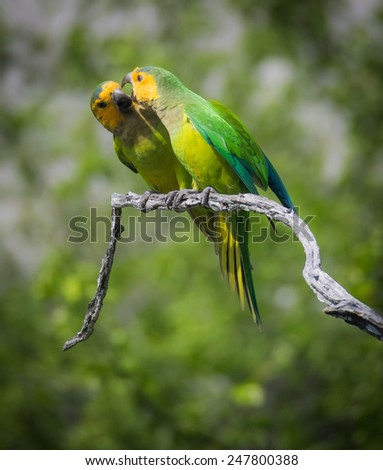Yellow throated parakeets Curacao   in the Dutch Antilles a Caribbean Island - stock photo