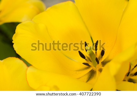 Yellow Tulips in spring.