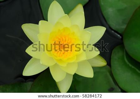 ํํYellow water lily - stock photo
