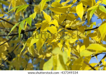 yellowing leaves on the trees growing in the city park, autumn season, a small DOF,