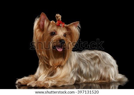 Yorkshire Terrier Dog Lying on Mirror, gold hair, isolated on Black background