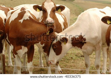 Young brindled  cows on pasture. - stock photo