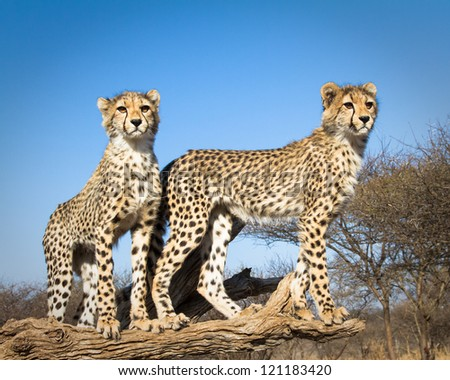 2 young cheetahs pose for a portrait - stock photo