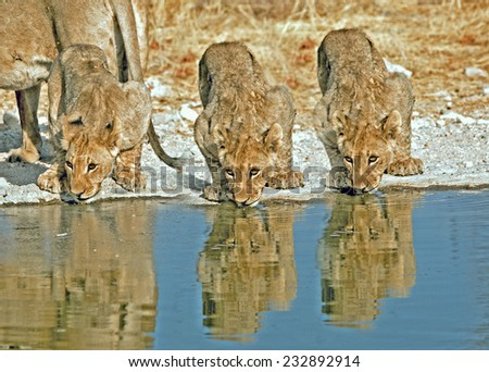 3 young cubs drinking from a waterhole in Ongava Private Reserve. - stock photo