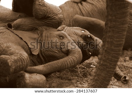 2 young elephant play, roll around and mud wallow in this photo taken on safari in South Africa