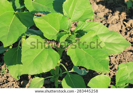 young green sunflower plants - stock photo